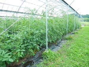 トマト農家