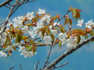 山桜その3