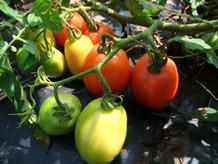 tomato2014