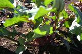 紅菜苔2011