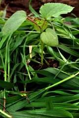 オクラ定植