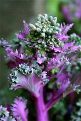 葉牡丹菜花