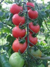 トマト2013
