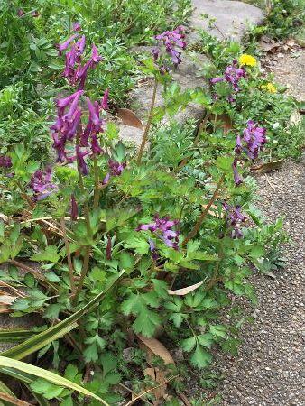 紫けまん草