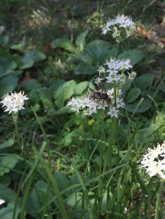 韮の花と蜂 (338x450)