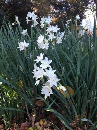 水仙ペーパーホワイト (338x450)