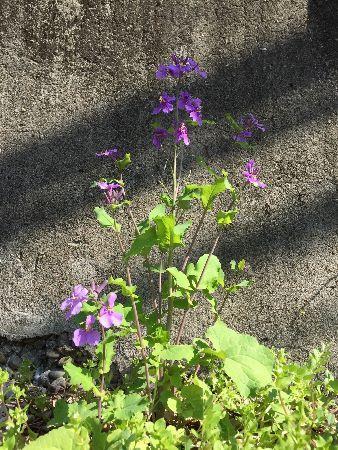 180317紫花菜 (338x450)