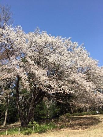 一剣さん四季の森公園の桜