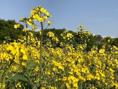 菜の花 (450x338)
