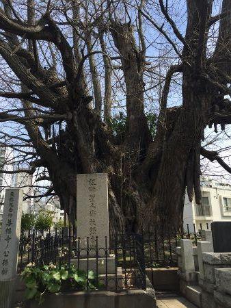 善福寺銀杏