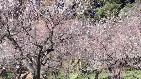 風虎さん東大植物園の梅
