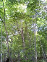 白神の樹々