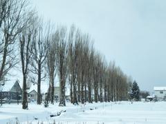 P雪の並木20181210