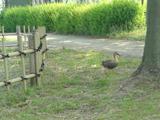 蓮公園・カモ (1)