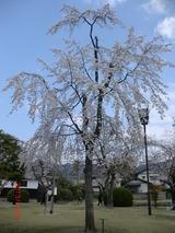 2013錦帯橋の桜02