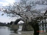 2013錦帯橋の桜