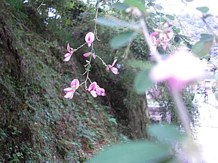 亀ヶ谷坂切通しの萩