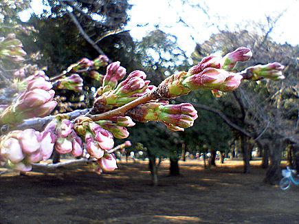 代々木公園の桜つぼみ膨らむ