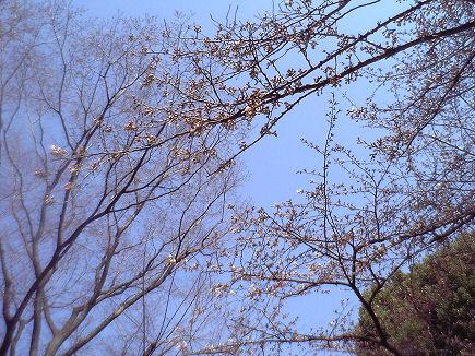 桜開花〜戸越公園