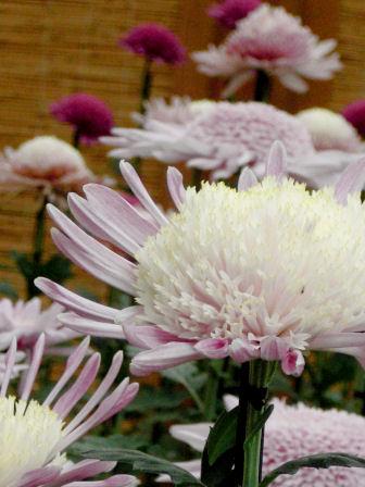 新宿御苑の菊展