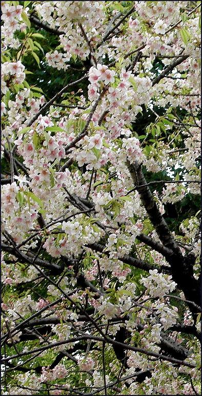 ヒマラヤ桜満開