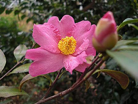 新宿御苑の山茶花