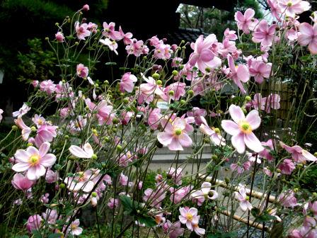 長谷寺のしゅうめい菊