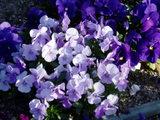 小学校の花9