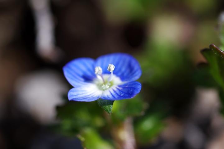 20120322春に咲く小さな青い花03