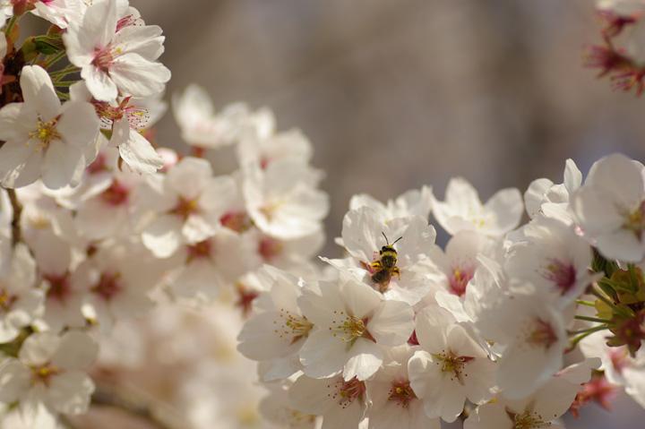 090412桜、明るめにね04