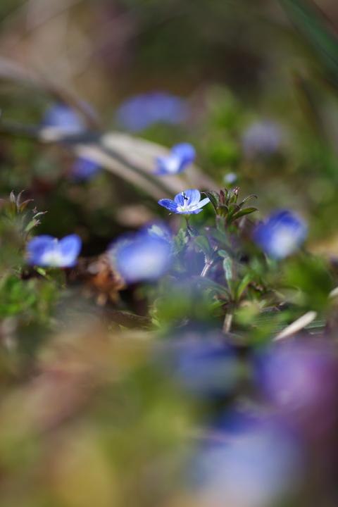 20120322春に咲く小さな青い花01
