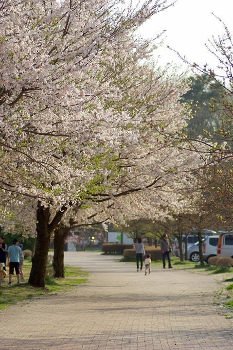 090412桜、明るめにね01