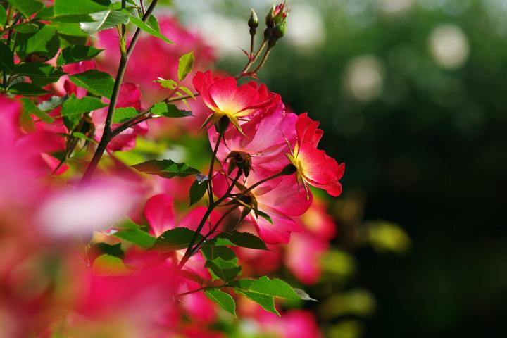 20120530_カクテル、好きなバラです!02