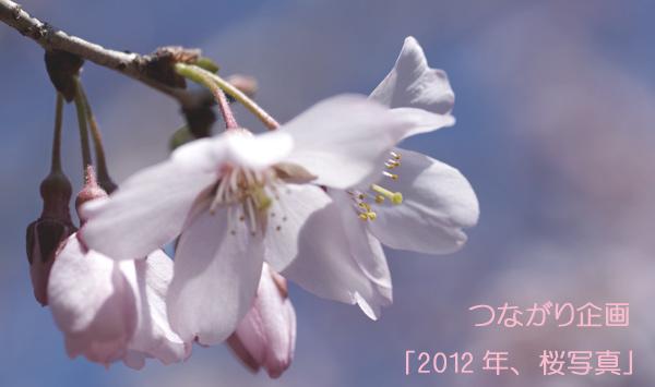 つながり企画「2012年、桜写真」