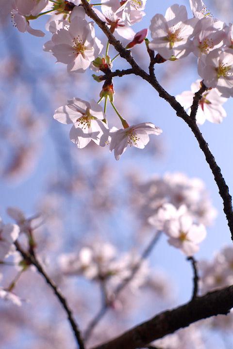110411つながり企画「2011年、桜写真」