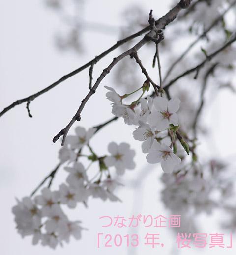 20130402_つながり企画「2013年、桜写真」