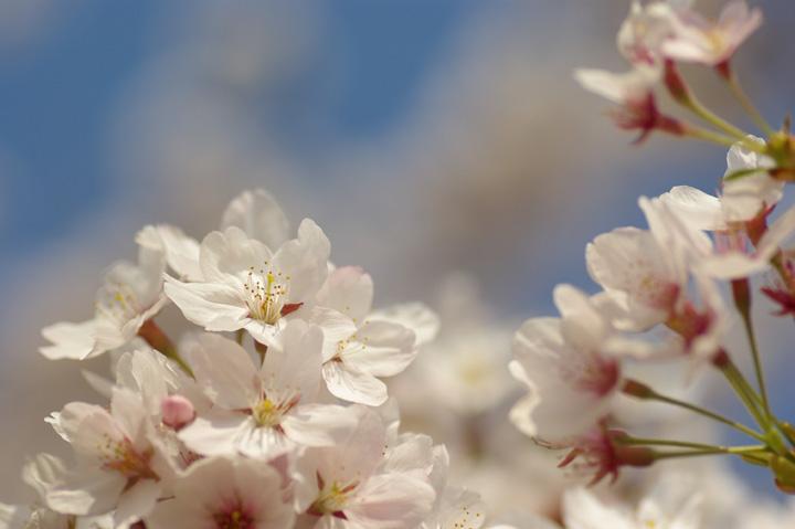 090412桜、明るめにね02