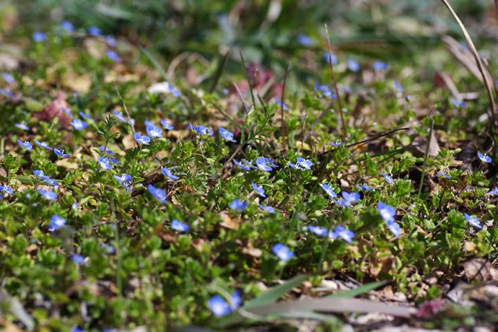 20120322春に咲く小さな青い花02