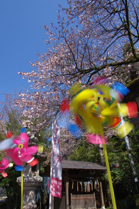 110428風車の神社で桜04