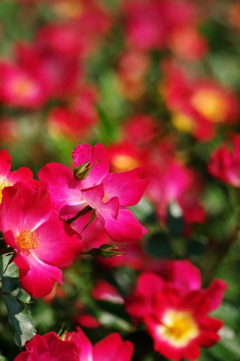 20120530_カクテル、好きなバラです!01