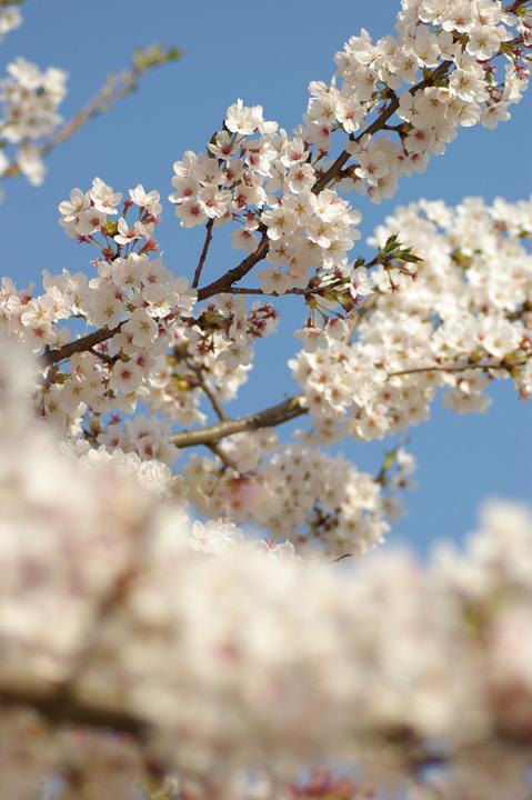 090412桜、明るめにね03