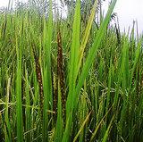 シンガラジャの田んぼで米作り