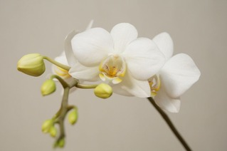 Orchid160128