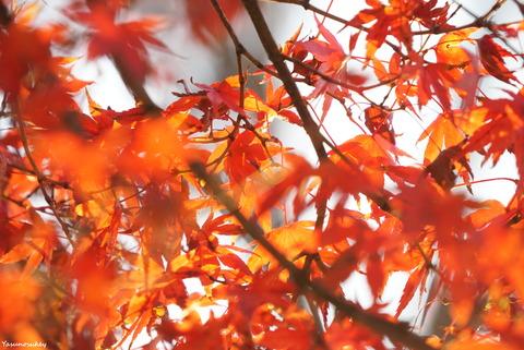 181127HitachiOtaAutumnFoliage5