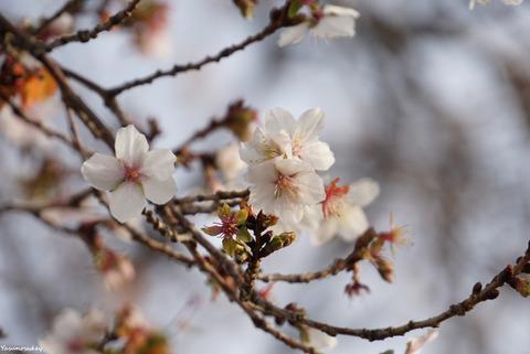 181225冬桜2