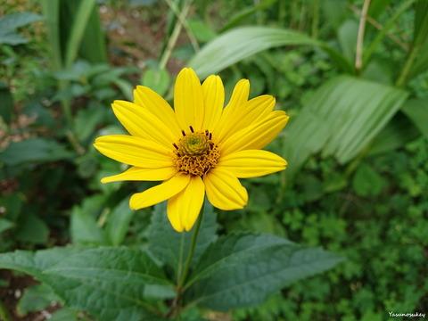 XperiaXZ2BeachSunflower180716