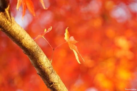 181127HitachiOtaAutumnFoliage9