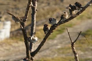 Sparrows160207