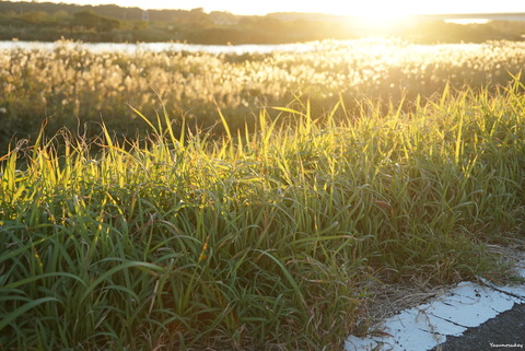 181101夕陽と雑草と