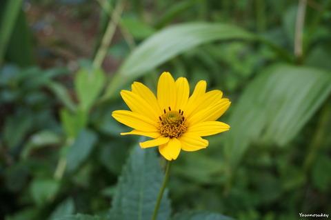 a6000BeachSunflower180716